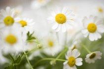 Primer plano vista diurna de florecimiento Marguerites - foto de stock