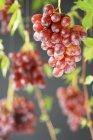 Raisins mûrs rouges — Photo de stock