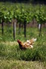 Vista diurna de gallina libre en un viñedo - foto de stock