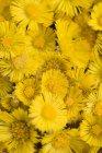 Крупный план кучи цветов Coltsfoot — стоковое фото