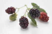 Blackberries on stalk with leaves — Stock Photo