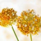 Часник квіти на білому тлі — стокове фото