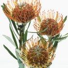 Detailansicht der Königsprotea Blumen auf weißem Hintergrund — Stockfoto