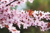Vista de cerca de las flores de cerezo japonesas en la rama del árbol - foto de stock