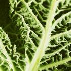 Савойская капуста — стоковое фото