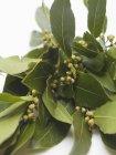 Branche fraîche de feuilles de Laurier — Photo de stock
