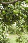 Manzanas Granny smith - foto de stock