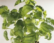 Basilic vert — Photo de stock