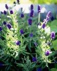 Крупный план дневного вида цветущих лавандовых растений — стоковое фото