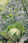 Green Savoy cabbages — Stock Photo