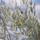 Оливки, растущие на дереве — стоковое фото