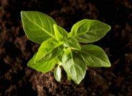 Pianta di basilico che cresce — Foto stock