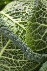 Зеленая савойская капуста — стоковое фото