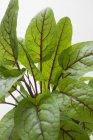 Green Sorrel leaves  on white background — Stock Photo