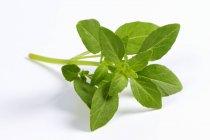 Foglie di basilico fresco verde — Foto stock