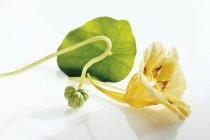 Крупным планом зрения Настурция лист с желтый цветок и семян — стоковое фото