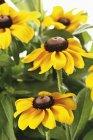 Крупным планом вид Рудбекия цветов — стоковое фото