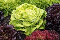 Lattuga in letto di insalata — Foto stock