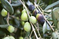 Olive che crescono sull'albero — Foto stock