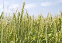 Vista di giorno di spighe di grano nel campo — Foto stock