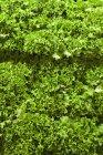Зеленый листовой салат — стоковое фото