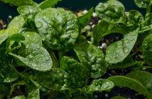 Детский шпинат с капельками воды — стоковое фото