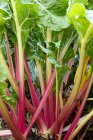 Chard growing in vegetable garden — Stock Photo