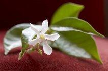 Vue de brin de Jasmin avec fleurs et feuilles — Photo de stock