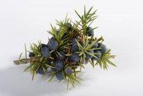 Juniper berries on branch — Stock Photo