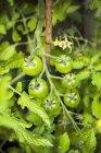 Незрелые зеленые помидоры черри — стоковое фото