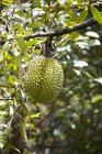 Fruta duriana madura fresca - foto de stock