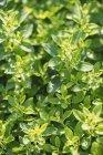 Oregano growing in garden — Stock Photo