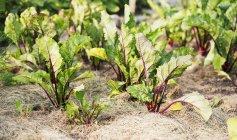 Piante di barbabietola rossa (Beta vulgaris) che crescono in un giardino all'aperto — Foto stock