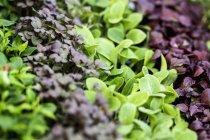 Frischer Garten Cress — Stockfoto