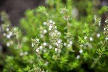 Blühender Oregano im Garten — Stockfoto