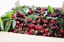 Cerezas frescas cogidas con hojas - foto de stock