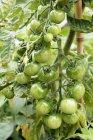 Pomodori verdi su vite — Foto stock