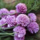 Vista de cerca del ramo de flores de cebollino - foto de stock