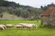 Daytime view of sheep walking in grassy field near building — Stock Photo