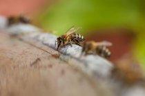 Abeille à miel assis sur surface — Photo de stock