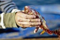 Pescatore con triglie rosse — Foto stock