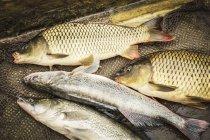 Freshly caught fish — Stock Photo