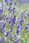Closeup daytime view of flowering lavender plants — Stock Photo