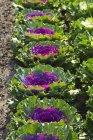 Декоративная капуста растет в поле — стоковое фото