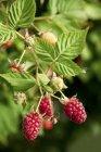 Vista de closeup de framboesas maduras em um arbusto — Fotografia de Stock