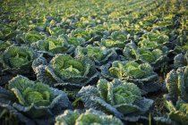 Savoy cabbages growing in field — Stock Photo