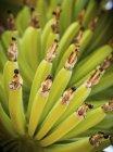 Young bananas growing on plant — Stock Photo