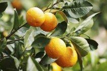 Arance mature su albero — Foto stock