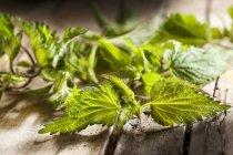 Fresh stinging nettle leaves — Stock Photo