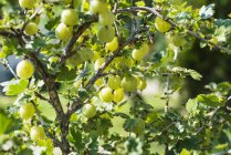 Grosellas en Bush - foto de stock